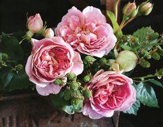 wild blackberries + full bloom roses = ♡