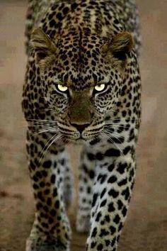 Big cat                                                       …