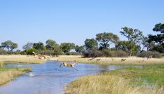 Red lechwe jumping a stretch of water in the Okavango Delta
