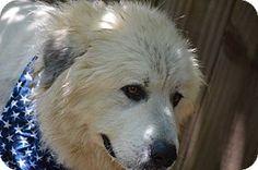 7/26/14 Wetumpka, AL - Great Pyrenees Mix. Meet 41395 Captain, a dog for adoption. http://www.adoptapet.com/pet/11243434-wetumpka-alabama-great-pyrenees-mix