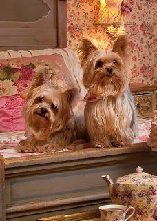 CORRABELLE ROSE ,cute Yorkies!