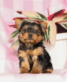 💜So cute we don't need a filter!💜 #Intelligent, #Idenpendent, & #Courageous..... These #adorable #YorkshireTerrier puppies are ready to enter your life and will fill it with #joy and #love!🌞 #Charming #PinterestPuppies #PuppiesOfPinterest #Puppy #Puppies #Pups #Pup #Funloving #Sweet #PuppyLove #Cute #Cuddly #Adorable #ForTheLoveOfADog #MansBestFriend #Animals #Dog #Pet #Pets #ChildrenFriendly #PuppyandChildren #ChildandPuppy #BuckeyePuppies www.BuckeyePuppies.com Yorkie Puppy For Sale, Puppies For Sale, Yorkie Puppies, Small Dog Breeds, Small Dogs, Cute Teacup Puppies, Lancaster Puppies, Yorkshire Terrier Puppies, Little Dogs