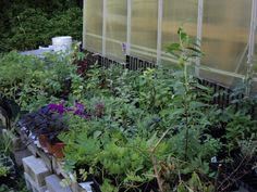 herb plants and ornamentals hardening off (2011)