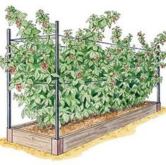 Hydroponic Gardening illustration of cedar raised bed and integrated support system planted with several raspberry plants - Long-lasting raised bed is sized to fit five raspberry plants Fruit Garden, Edible Garden, Veg Garden, Terrace Garden, Hydroponic Gardening, Organic Gardening, Vegetable Gardening, Gardening Tips, Container Gardening