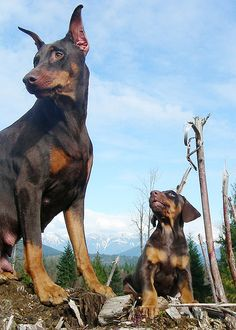 Dobermans - Java & Juno by happydobermans, via Flickr