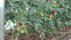 Toto je dôvod, prečo mám každý rok bohatú úrodu paradajok, ukážkový trávnik a žiadnych škodcov v záhrade: Nasypte do záhrady túto prísadu, účinok na nezaplatenie! Fruit, Vegetables, Plants, Milan, Gardening, Compost, Lawn And Garden, Vegetable Recipes, Plant
