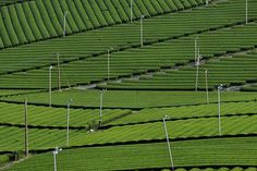 Tea plantation - Yame, Fukuoka, Japan
