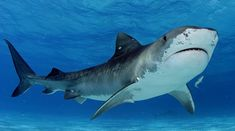 Swimming Pictures, Shark Pictures, Shark Photos, Shark Images, Shark Week, Top 10 Deadliest Animals, Tiger Facts, Deadly Animals, Shark Gifts