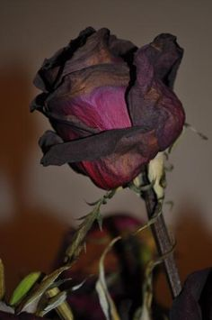 Rosas que nunca llegaron pero que si se marchitaron. Beauty in death. Wilted Rose