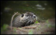 Nutria ( myocastor coypus ) Animals, Otters, Photos, Wild Animals, Animal Pictures, Animales, Animaux, Animal, Animais