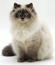 Birman Cat History.Click the picture to read