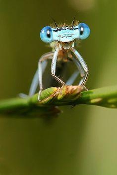 Damselfly(suborder Zygoptera)