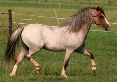red roan Welsh Cob pony