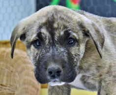 Tigger is an 8 week old male Mastiff/Bulldog mix.  He is a playful boy that enjoys his toys and wrestling with his siblings.  Tigger would like to find his own forever home to grow up in and he hopes it has a nice safe fenced play area.