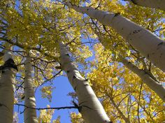 This isn't really a grove of individual aspen trees, but rather clones of one organism — a single root system spread across 43 hectares in Utah. It's the most massive living thing known to science. Garden Types, Big Plants, Types Of Plants, Planting Vegetables, Planting Seeds, Ficus, Bryce Canyon, Pando Tree, Fast Growing Shade Trees