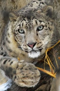 Indian Leopard | Snow? What snow? Christmas in UK set to be warmest on record - AOL ...