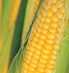 Golden Bantam Corn Seeds are an open pollinated corn variety. Learn how to grow corn in your organic vegetable garden by planting Golden Bantam corn.