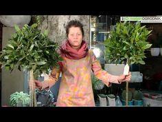 Kocham Tę Roślinę - Drzewko laurowe S04 E04 - YouTube