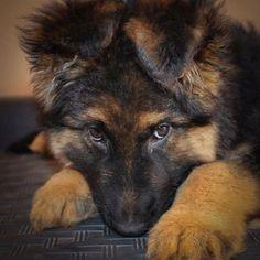 GSD Puppy-Aston