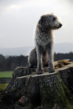 In fairness, it does seem like a suitable perch for the majestic Irish wolf hound. Big Dogs, I Love Dogs, Dogs And Puppies, Doggies, Magyar Agar, Scottish Deerhound, Irish Wolfhounds, Animals And Pets, Cute Animals