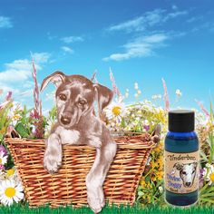 A safe blend of pure plant essential oils that fleas don't like. A natural way to prevent infestation on your dog and in your home. Eucalyptus Essential Oil, Pure Essential Oils, Organic Supplements, Blue Glass Bottles, Bath Water, Dog Eyes, Dog Coats, Fleas, Peppermint