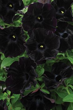 Black Velvet Petunia. Absolutely gorgeous, lush flowers. Link has tips on cultivation as well.