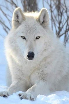 """Let us answer the question """"what do arctic wolves eat?"""" and discuss some interesting facts about this rare wolf species diet. Wolf Love, Arktischer Wolf, Wolf Pup, Lone Wolf, Wolf Images, Wolf Photos, Wolf Pictures, Tier Wallpaper, Wolf Wallpaper"""