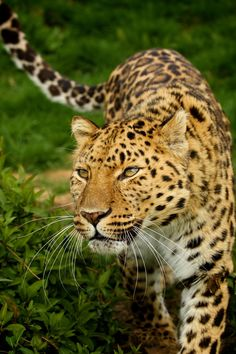 The Amur leopard, also known as the Far East Leopard or Manchurian Leopard, is listed as Critically Endangered in the International Union for Conservation of Nature's Red List of Threatened Species. With only around 35 left in the wild, it is considered the world's most endangered cat.