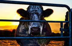 'Cowspiracy' is an eye-opening documentary about the effect that animal agriculture has on the planet.