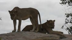 Lioness sleeping on top off a rock then another join her. Beautiful clear view unfortunately on a cloudy day but still a great sighting. Female Lion, Cloudy Day, The Rock, Lions, Panther, Rocks, Tattoos, Cats, Animals