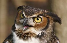 47 Superb Owls Buho Tattoo, Owl Quotes, Owl Pictures, Owl Pics, Carnivore, Great Horned Owl, Word Nerd, High Times, Birds Of Prey