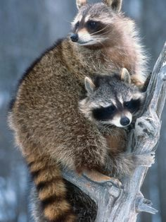 Common Raccoons (Procyon Lotor), Montana, USA Photographic Print by Tom Walker at AllPosters.com