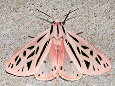 Moth Photographers Group – Apantesis arge – 8199 the arge moth or arge tiger moth Papillon Butterfly, Butterfly Drawing, Monarch Butterfly, Moth Drawing, Pink Butterfly, Butterfly Print, Butterfly Wings, Cool Insects, Bugs And Insects