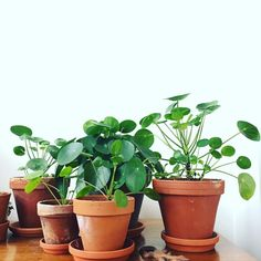 I can stare at my plants all day :see_no_evil: Can't wait for spring to come and a new growth season :pray: Planting Succulents, Planting Flowers, Chinese Money Plant, All About Plants, Decoration Plante, House Plants Decor, Home Flowers, Plants Are Friends, Office Plants