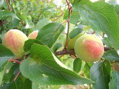 梅の実を食べる鳥 - Google 検索