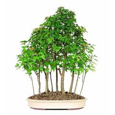 Bonsai Trident Maple Forest 15 Tree Deciduous Outdoor Beautiful Plant 10 Years #BonsaiTridentMapleForest