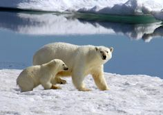 "As the ice melts, polar bear populations are moving north, which is why Arctic Kingdom Polar Bear Expeditions built three small cabins in this area on the east coast of Hudson Bay north of Churchill, Manitoba, known as ""Polar Bear Alley."" In fact, the changing climate has caused a bit of a polar-bear jam: Last year, one Inuit guide saw 300 bears in the area over the course of the October-November season.    From a cozy bear-proof cabin, watch the animals mock fight, forage for food, or laze…"