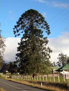 Bunya Pine Tree. Araucaria bidwillii. Showing their odd growth pattern.