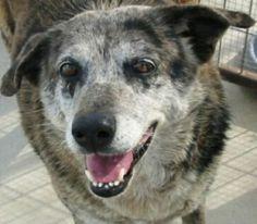Adopted! Samantha Australian Shepherd/ Australian Cattle Dog mix - Floresville, TX. 13 yrs old.