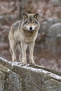 1000 images about wolves on pinterest white wolves arctic wolf and - 1000 Images About Wolves Photography On Pinterest