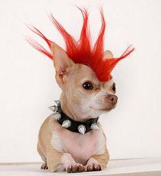 Punk Diva Chihuahua