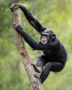 Chimpanzee XIX by Abeselom Zerit - Photo 142028865 / 500px