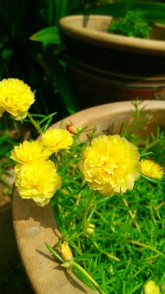 Portulaca Flowers, Girl Hijab, Bougainvillea, Hanging Plants, Yellow Flowers, Scenery, Herbs, Gardening, Rose
