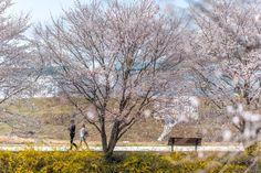 이틀간의 비와 바람으로 인해 벚꽃은 작은 흔적을 남기고 떠나 버린거 같다. 나무 주변에 떨어진 벚꽃잎들 ...