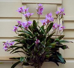 Laelia anceps orchid species