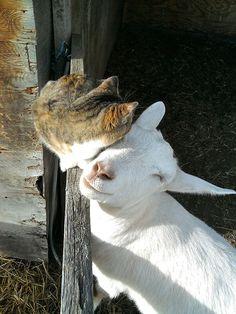 A amizade entre animais é uma coisa rara e, em alguns casos, vai contra todas as leis da natureza. No entanto, alguns animais surpreendem qualquer um ao demonstrar uma fidelidade e companheirismo à diferentes espécies, raças e, inclusive, tamanhos.