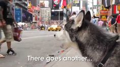 Mishka the Talking Husky Can't Get a Taxi!