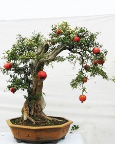 Pomegranate Bonsai, nice trunk girth & taper, yields lovely red- orange hued fruits in an antique Chinese pot #Bonsai