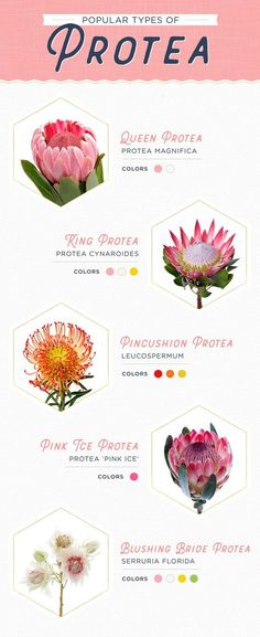 Wedding Bouquets 11 Protea Ideas for your Wedding - Protea flowers are the perfect way to make a statement at your wedding. King protea, queen protea and pincushion protea are some of the most popular. Flor Protea, Protea Plant, Protea Bouquet, Protea Flower, Peonies Bouquet, Carnation Bouquet, Eucalyptus Bouquet, Flower Shops, Tropical Flowers