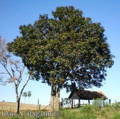Cupania vernalis - Cuvatã, Miguel-pintado, Camboatá.  Flora Digital do Rio Grande do Sul e de Santa Catarina: Cupania vernalis